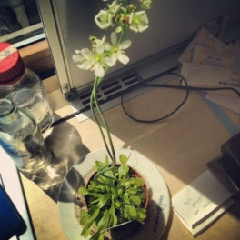 The Venus Fly trap blossoming